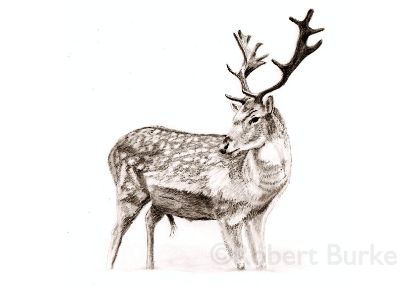 Fallow Deer - pencil portrait - by Robert Burke
