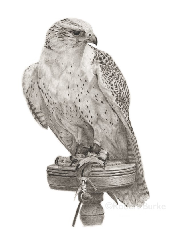 Gyrfalcon - pencil portrait - by Robert Burke