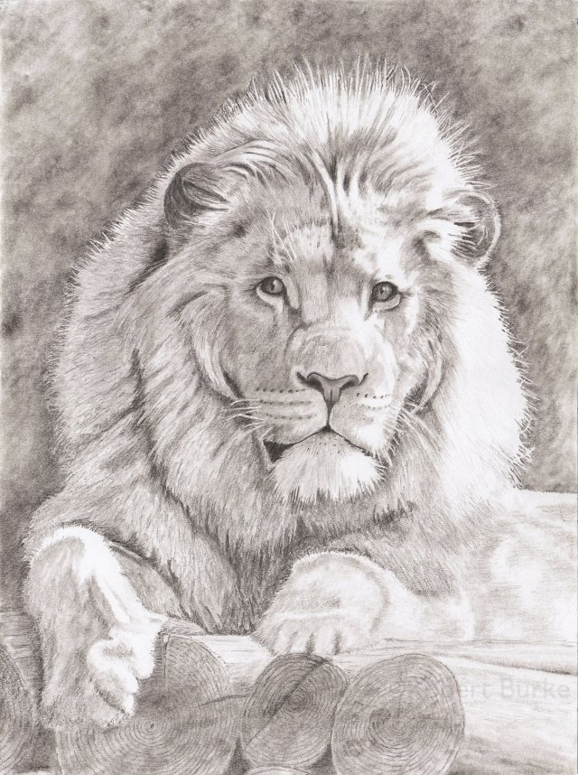 Lion on Logs - pencil portrait - by Robert Burke